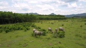 Os búfalos pastam na pastagem fresca na vista superior de madeira video estoque