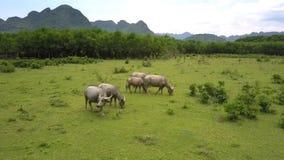 Os búfalos pastam no local de pastagem na vista superior de madeira tropical video estoque