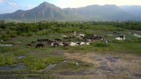 Os búfalos pastam no prado com opinião aérea do lago video estoque