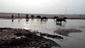 Os búfalos que cruzam o rio imagem de stock royalty free