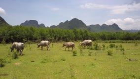 Os búfalos reunem pastam e comem a grama na opinião superior do campo vídeos de arquivo
