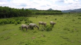 Os búfalos reunem pastam na pastagem na vista aérea do vale video estoque