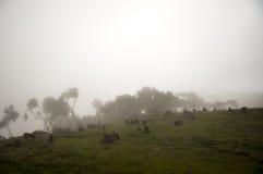 Os babuínos de Gelada, simien o parque nacional, Etiópia Foto de Stock Royalty Free