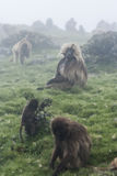 Os babuínos de Gelada, simien o parque nacional, Etiópia Fotografia de Stock