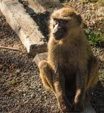 Os babuínos do macaco aproximam o lago Nakuru em Kenya Fotografia de Stock