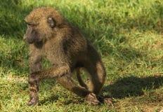 Os babuínos do macaco aproximam o lago Nakuru em Kenya Imagens de Stock Royalty Free