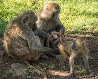 Os babuínos do macaco aproximam o lago Nakuru em Kenya Imagens de Stock