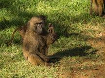 Os babuínos do macaco aproximam o lago Nakuru em Kenya Fotos de Stock Royalty Free