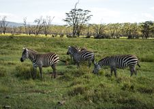 Os babuínos do macaco aproximam o lago Nakuru em Kenya Foto de Stock