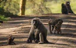 Os babuínos do macaco aproximam o lago Nakuru em Kenya Foto de Stock Royalty Free