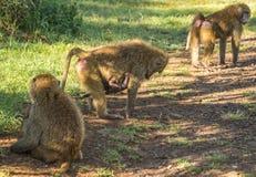 Os babuínos do macaco aproximam o lago Nakuru em Kenya Fotografia de Stock Royalty Free