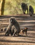 Os babuínos do macaco aproximam o lago Nakuru em Kenya Fotos de Stock