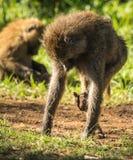 Os babuínos do macaco aproximam o lago Nakuru em Kenya Imagem de Stock