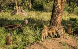 Os babuínos do macaco aproximam o lago Nakuru em Kenya Imagem de Stock Royalty Free