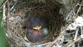 Os bebês dobro do pássaro vivem em um ninho vídeos de arquivo