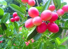 Os bengal-corintos acidificam o fruto Fotografia de Stock