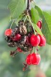 Os besouros da forra cor-de-rosa estão comendo cerejas das bagas Imagem de Stock Royalty Free