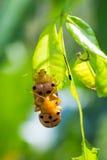 Os besouros estão acoplando-se Fotografia de Stock Royalty Free