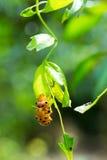 Os besouros estão acoplando-se Fotos de Stock Royalty Free