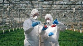 Os biólogos injetam tomates vermelhos com uma seringa, trabalhando em uma estufa vídeos de arquivo