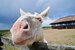 osła biel Zdjęcie Royalty Free