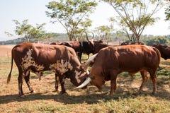 Os bisontes estão lutando com outro Fotos de Stock Royalty Free