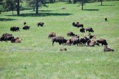 Os bisontes nos animais selvagens dão laços, South Dakota, EUA imagem de stock