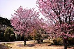 Os bloosoms da cereja na flor completa/março ajardinam em japão Foto de Stock Royalty Free