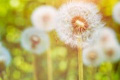 Os blowballs dos dentes-de-leão sob alargamentos do sol estão prontos para começar a favor do vento sementes imagens de stock royalty free