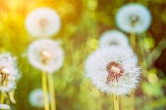 Os blowballs dos dentes-de-leão sob alargamentos do sol estão prontos para começar a favor do vento sementes fotografia de stock