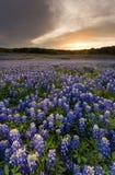 Os Bluebonnets bonitos colocam no por do sol perto de Austin, Texas no spri imagem de stock
