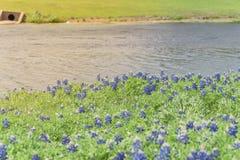 Os Bluebonnets florescem ao longo de um lago em Ennis, Texas, EUA imagem de stock royalty free