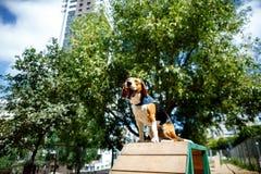 Os bocejos do cão do lebreiro fotografia de stock