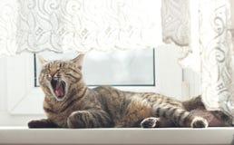 Os bocejos do gato Imagem de Stock Royalty Free