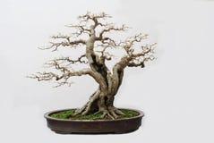 Os bonsais da agreira imagem de stock royalty free