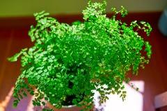 Os bonsais das plantas verdes Fotos de Stock Royalty Free