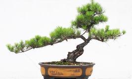 Os bonsais do pinho Imagens de Stock Royalty Free