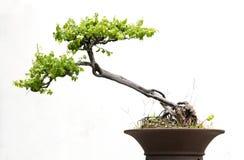 Os bonsais isolaram-se Fotos de Stock Royalty Free