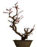 Os bonsais isolaram-se Foto de Stock Royalty Free