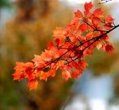 Os bordos vermelhos do outono Imagem de Stock Royalty Free