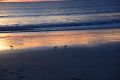 Os borrelhos caçam para o alimento apenas ao longo da parte ensolarada da praia imagens de stock
