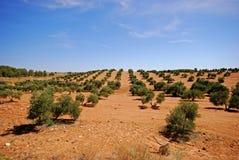 Os bosques verde-oliva aproximam Bornos, Spain. Fotos de Stock