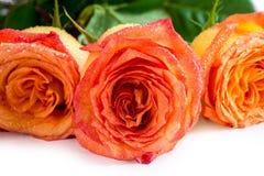 Os botões bonitos das rosas são cobertos com as gotas de água Imagens de Stock