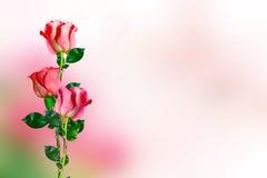 Os botões de rosas das flores Fotografia de Stock
