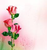 Os botões de rosas das flores Imagens de Stock