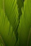 Os botões do cycas do sagu são tão puros e frescos na luz do sol Foto de Stock Royalty Free