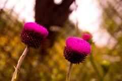 Os botões e as flores do cardo em um verão colocam fotos de stock royalty free