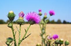 Os botões e as flores do cardo em um verão colocam O Carduus é o símbolo de Escócia fotografia de stock royalty free