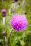 Os botões e as flores do cardo em um verão colocam A planta do cardo é o símbolo de Escócia foto de stock