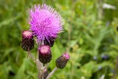 Os botões e as flores do cardo em um verão colocam A planta do cardo é o símbolo de Escócia imagem de stock royalty free